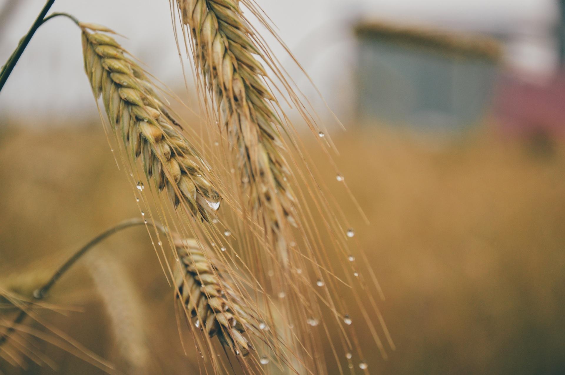 corn-grain